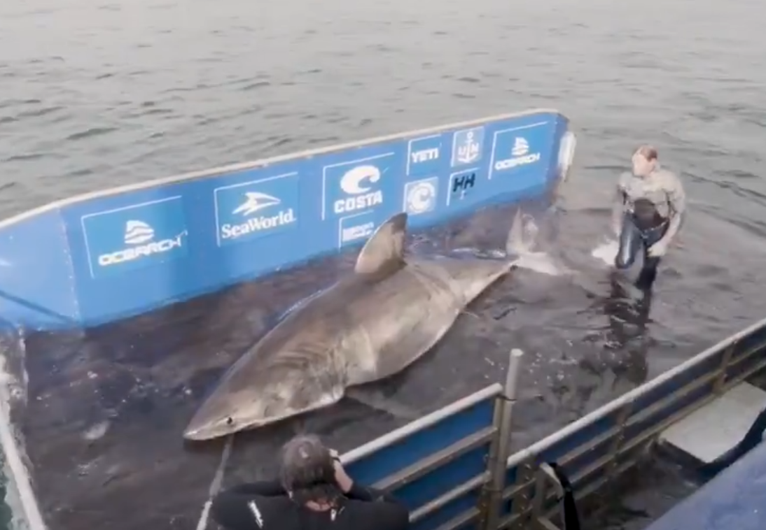 Research Team Catch 17ft Great White Shark Weighing 3,500lbs